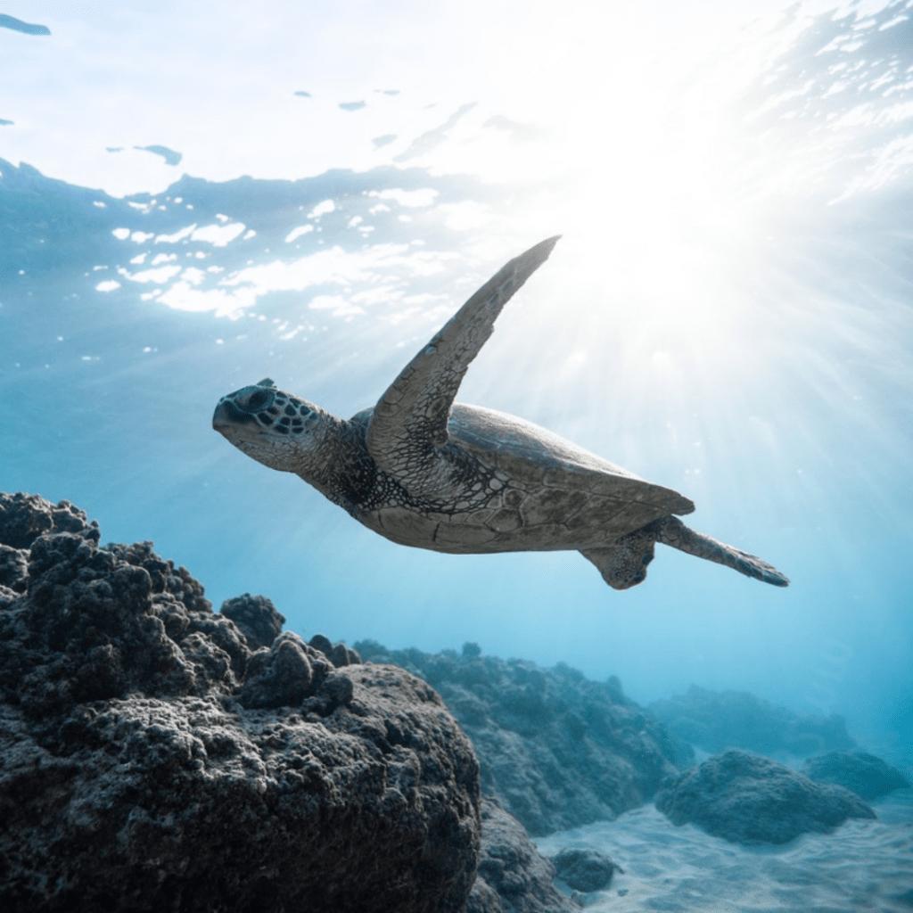 Schildkroete-im-Meer